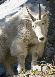 mountain_goat_myatt | by Oregon Department of Fish & Wildlife