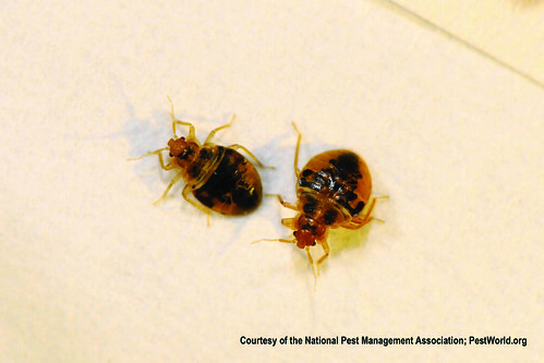 Bed Bug Nymphs | by Medill DC