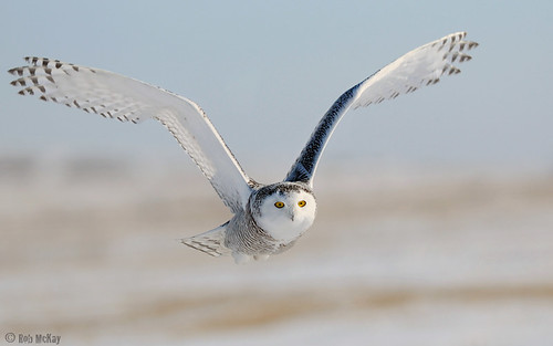 Snowy Owl Fly-by, Alberta Canada | by Rob McKay Photography