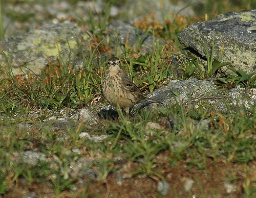American Pipit | by Great Glen Trails