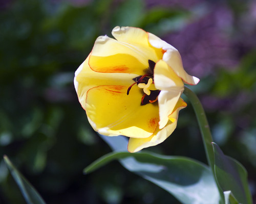 Yellow Tulip | by hz536n/George Thomas