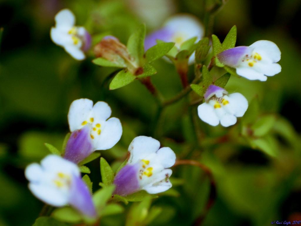 A Trek To Sinhagarh44licate White Flowers Cluster Flickr