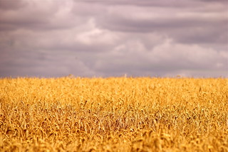 Cornfield | by Fudgie.
