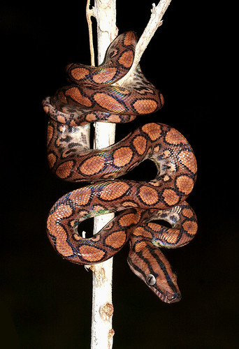 Rainbow Boa (Epicrates cenchria) | by cowyeow