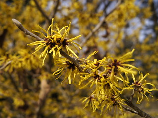 Hamamelis mollis 'Princeton Gold' | by Tie Guy II