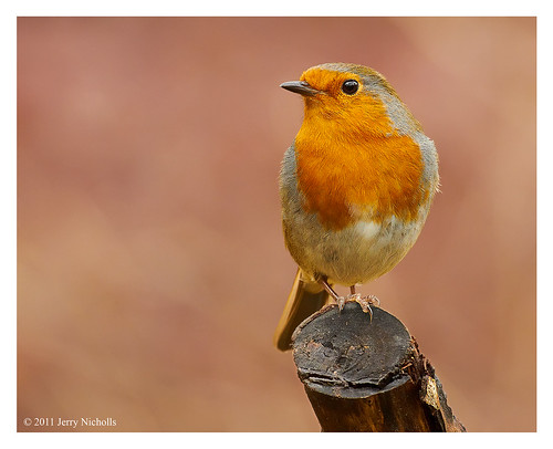 Robin - Erithacus rubecula | by Jerry Nicholls