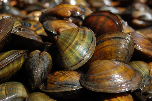 Federally endangered Higgins eye pearly mussel | by U.S. Fish and Wildlife Service - Midwest Region