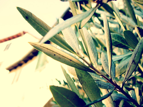 Olive Leaves | by Tess French