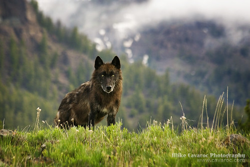 Black Wolf in Yellowstone National Park | by Free Roaming Photography