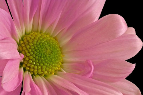pink daisy on black | by mclcbooks
