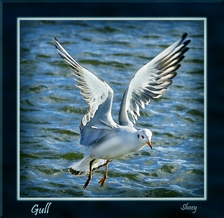 Gull | by MShoey1