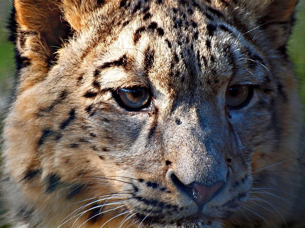 Schneeleopard Snow Leopard The Snow Leopard Pa Flickr