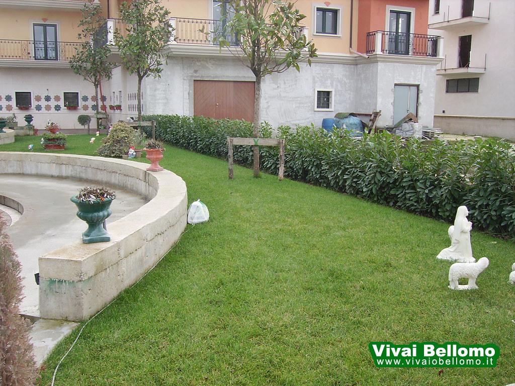 Giardino Con Loieto E Magnolie Alberello Vivai Bellomo Flickr