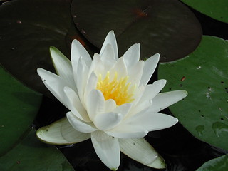 Water Lily | by Great Glen Trails