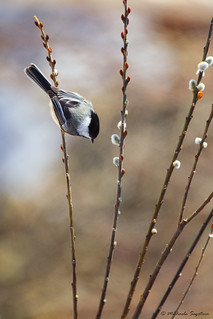 A53F8546 Chickadee on pussy willow | by ~ Michaela Sagatova ~