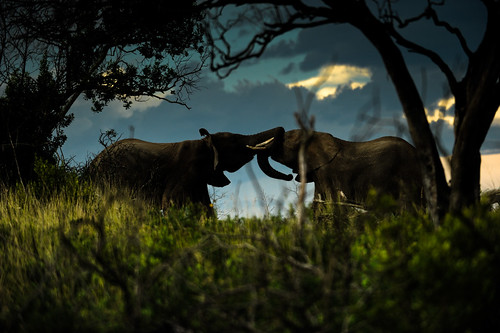 Elephants fighting in the wild | by Aris Vrakas