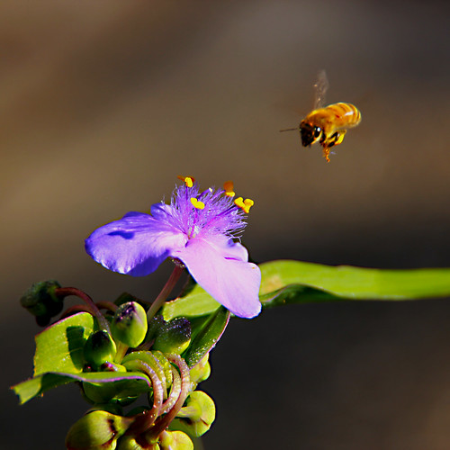 Honey bee visiting spiderwort | by beckymaldonado