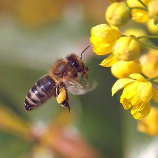 A honey bee flying to an Oregon-grape. | by Bienenwabe