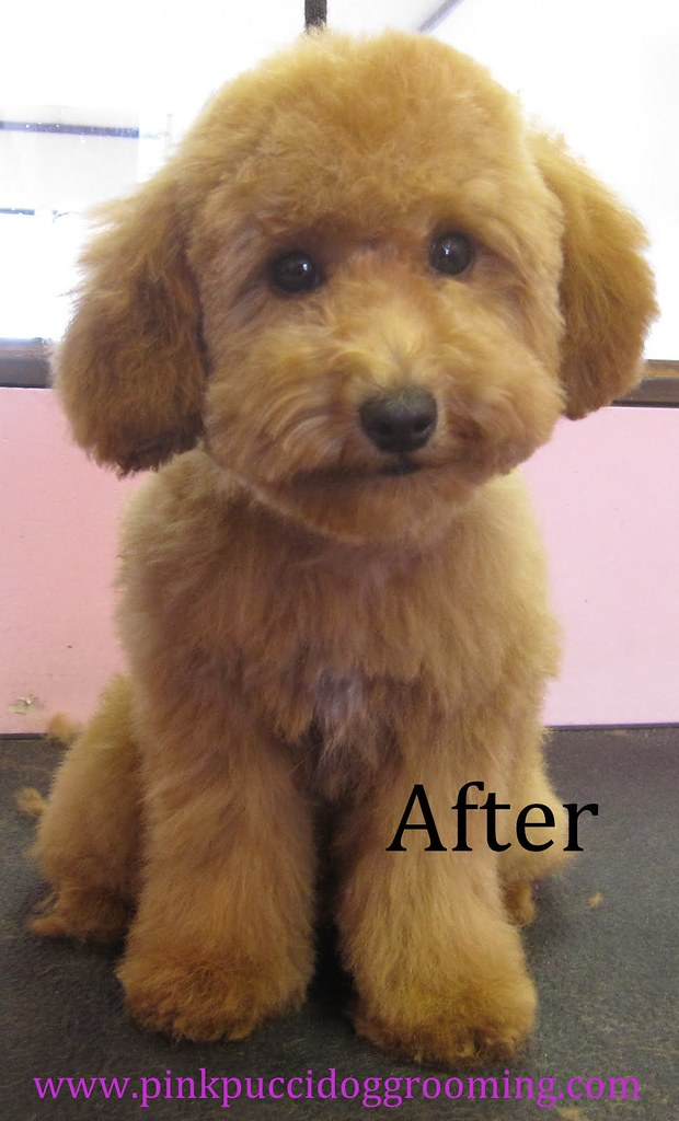 After Grooming Toy Poodle Pinkpuccidoggrooming In Flickr