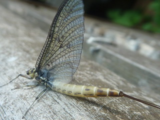 Mayfly 1 | by Super Tinks