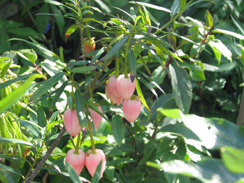 Crinodendron hookerianum 5687360329_b9731a7fdb