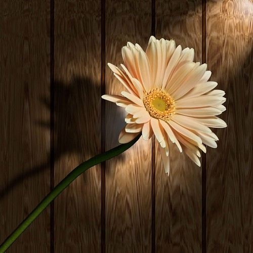 Beige Gerbera | by asterb