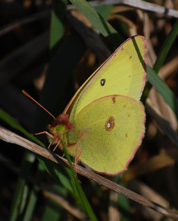 Colias philodice, Clouded Sulphur | by sheryl2010