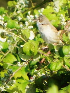 Flitting through the bramble thicket a whitethroat and his song. | by Brad Wier