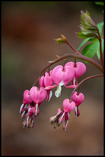 Bleeding Hearts | by Talsi1