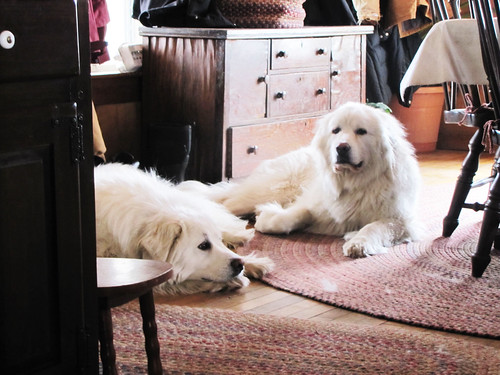 Our Great Pyrenees Doggies! | by gnawkeyduh