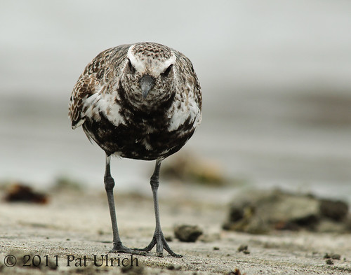 Friendly plover | by Pat Ulrich