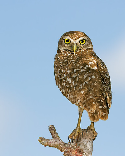 Burrowing Owl | by DMF Photography