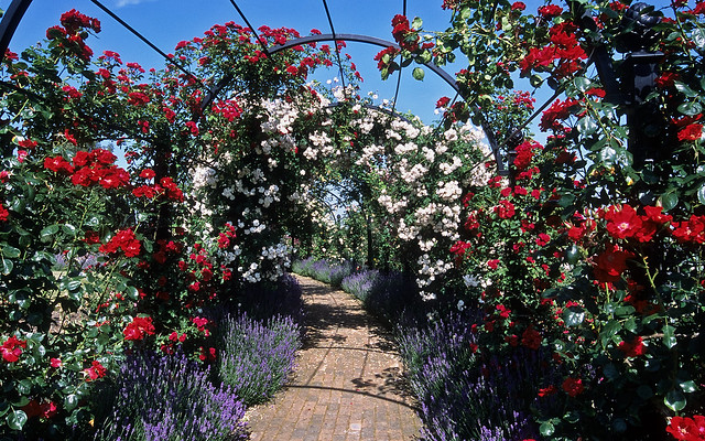 Royal National Rose Society Gardens (RNRS) -  The Gardens of the Rose, Hertfordshre, England | Rose covered pergolas (3 of 12)