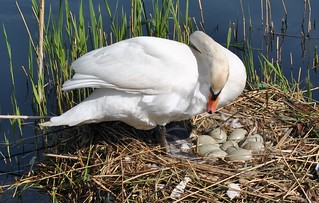 FEMALE SWAN & EGGS | by DEGSY P. (D.Phillips Photography)