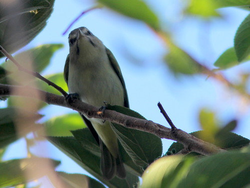 Black-whiskered Vireo 3-20110420 | by Kenneth Cole Schneider
