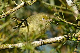 Jamaican Vireo - Vireo modestus | by Paul B Jones