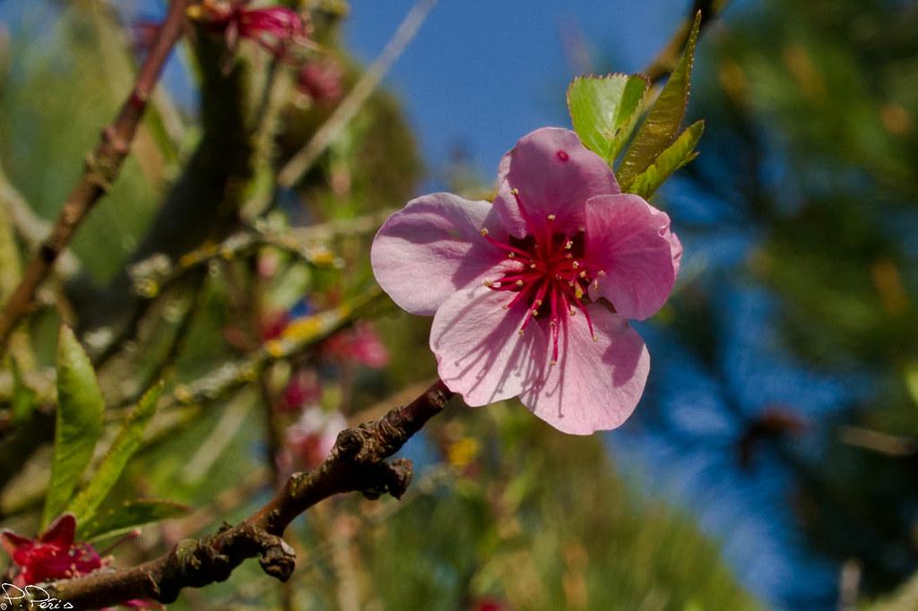 Fleur De Pecher Fleur De Pecher Pixl85 Flickr