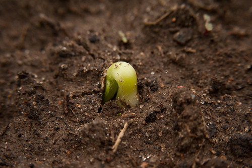 Cantaloupe Seedling About to Emerge | by goingslowly
