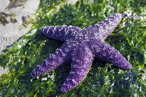 ochre star | by fog and swell
