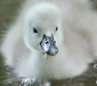 one off four baby swans on langold lake first for a decade | by gerry@langold