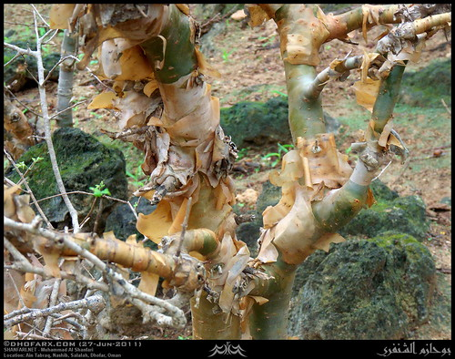 Balsam of Mecca, Commiphora gileadensis, Tree in Ain Tabraq, Salalah, Dhofar | by Shanfari.net