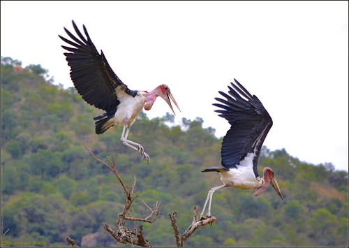 Marabou Stork. | by LC's Eye (Wild Images of Africa)