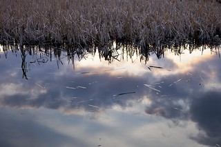 bullrushes and pond | by scott_flikr