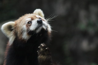 Grooming of red panda | by Takashi(aes256)