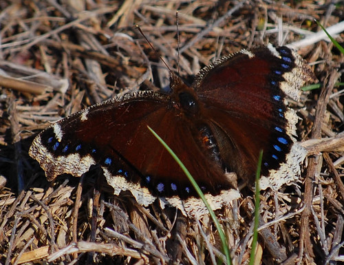 Nymphalis antiopa, Mourning Cloak | by sheryl2010