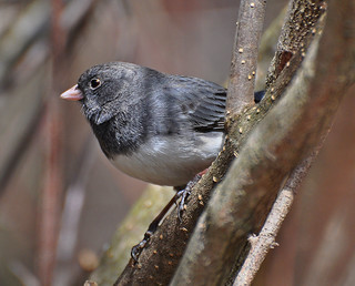 Sweet Junco!! | by mamaroo10 ~~Have a nice day!!! ;-))