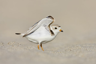 Piping Plover | by J Gilbert