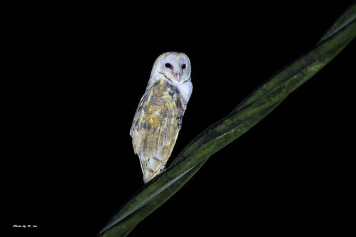 倉鴞 Barn Owl | Taken at Kuala Gula-Malaysia 學名: Tyto alba ...