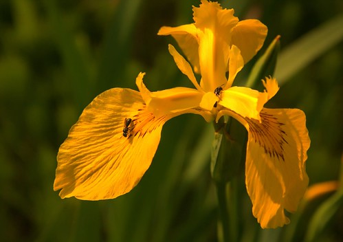 Yellow Iris and The Pollinators HDR | by spincast1123