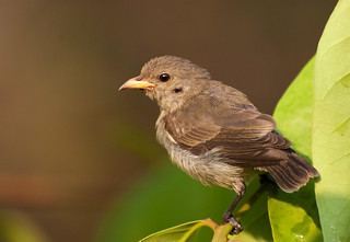 Tickell's flowerpecker (Hebbal lake) | by amit.rawal